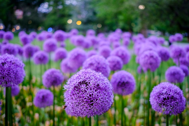 Allium flowers on the Boston Common